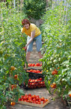 Woman picking tomatoes Stock Image