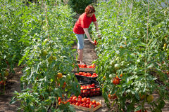 Woman picking  tomatoes Stock Images