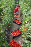 Woman Picking Tomatoes Stock Photos