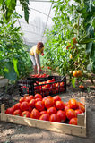Woman picking  tomatoes Royalty Free Stock Photography