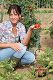 Woman picking tomatoes Stock Photos