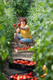 Woman picking  tomatoes Stock Photography