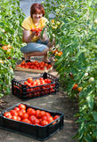 Woman picking  tomatoes Royalty Free Stock Images