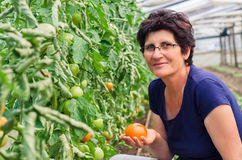 Woman picking tomatoes from garden Stock Image