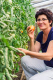 Woman picking tomatoes from garden Stock Photo
