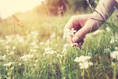 Woman picking up flowers on a meadow, hand close-up. Vintage light royalty free stock photo