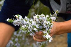 Collecting and holding flowered rosemary royalty free stock photos