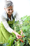 Woman picking up tomatoes from garden Royalty Free Stock Photography