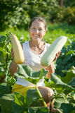 Woman picking vegetable marrow Stock Photography