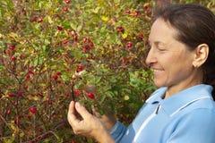 Woman picking a Wild Rose. Mature gardener woman picking eglantine Stock Image