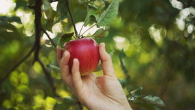 Woman Picks An Apple. Woman in garden collects apples