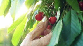 Hand picks cherries from the branch. Woman picks and eats sweet cherries stock video footage