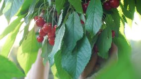 Woman picking cherries from the branch. Woman picks and eats sweet cherries stock footage