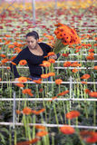 Woman picks flowers in greenhouse Stock Images