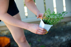 Woman picks up a plant in a white container. In the shade Stock Photography