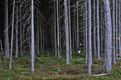Woman in pine thicket. Royalty Free Stock Images
