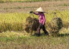 Woman in pink shirt carries two heaps of rice straw on shoulder Royalty Free Stock Image