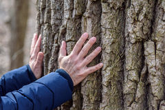 Woman placing hands on bark of large old tree. Hands only reaching out touching and feeling deeply grooved surface of huge tree in forest preserves Royalty Free Stock Photos