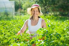 Woman  in plant of potato Stock Photography