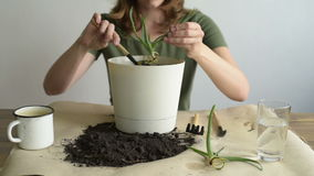 Woman planting aloe vera stock video