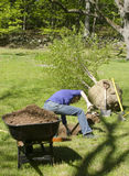 Woman planting birch tree. Woman digging hole planting large birch tree Stock Images