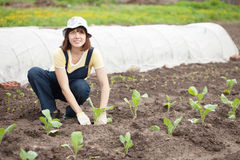 Woman planting cabbage seedling Royalty Free Stock Photos