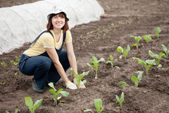 Woman planting cabbage seedling Royalty Free Stock Photography