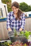 Woman Planting Container On Rooftop Garden Royalty Free Stock Photos