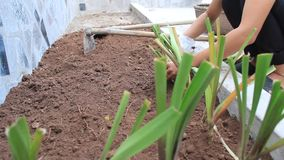 Woman planting flowers stock video footage