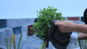 Woman planting flowers stock video