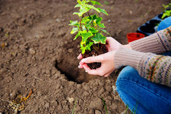 Woman planting flowers. In the garden royalty free stock photos