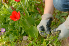 Woman planting flowers in garden. Hands woman planting flowers in garden Royalty Free Stock Photo