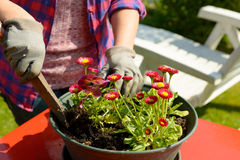 Woman planting flowers in garden. Hands woman planting flowers in the garden Stock Photography