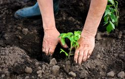 Woman planting in the hole tomato seedlings. stock photo