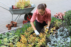 Woman planting out flowers. Young woman planting out flowers sprouts in a garden Stock Photography