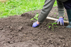 Woman planting pepper seedling in the garden Stock Images