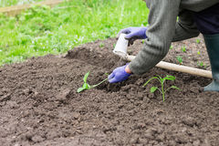 Woman planting pepper seedling in the garden Royalty Free Stock Photos