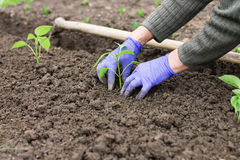 Woman planting pepper seedling in the garden Stock Image