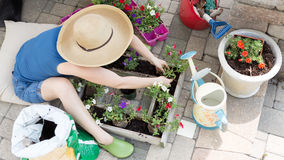 Woman planting petunia seedlings Stock Photo
