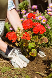 Woman planting a red flower Royalty Free Stock Image