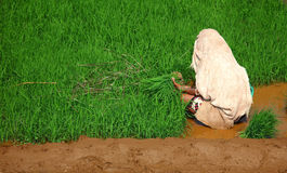 Woman, planting rice Royalty Free Stock Photo
