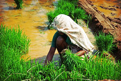 Woman, planting rice Royalty Free Stock Images