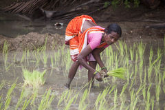 Woman planting a rice Royalty Free Stock Image