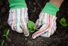 Woman planting a seedling in the vegetable garden wearing gloves Royalty Free Stock Image