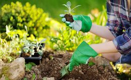 Woman planting seedlings in bed in the garden at summer sunny da royalty free stock images