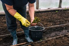 Woman planting seedlings. Planting seedlings of young plants. Hands of a woman in yellow gloves hold cuttings that will be planted stock photo
