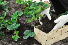 Woman is planting strawberries plants Stock Images