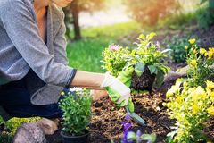 Woman planting flowers in garden bed. Woman planting summer flowers in home garden bed stock photo