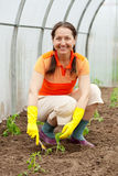 Woman planting tomato Stock Photos