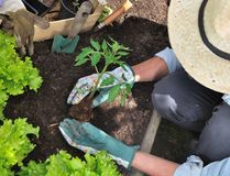 Woman planting tomato Royalty Free Stock Image